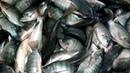FISH MARKET Incredible fish market Of jhenidah Bangladesh Big fish market- part 4