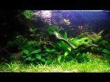 Расбора— маленькая пресноводная рыбка. Это стайные рыбки, активные и очень красивые.mp4
