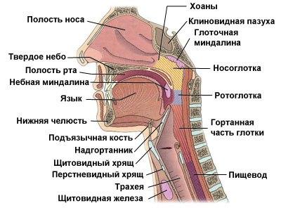мышцы гортани фото