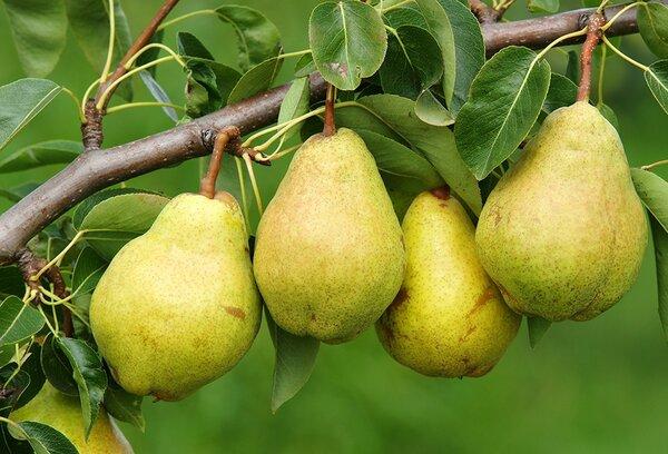 Обязательно посадите груши у себя в саду. У моей бабушки росло огромное дерево груши пирамидальной формы. Никто не знал, какой сорт, когда-то много лет назад бабушка купила саженцы на рынке и