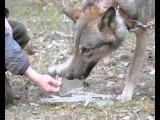 Жизнь с волком