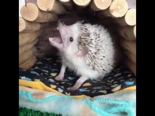 Ёжик зевает