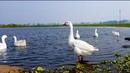 Video on Samsung S9 Moza Mini Mi _ Duck Lake _ Nature _ Birds