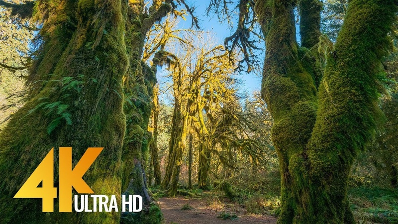 Amazing Hoh Rain Forest in 4K - Winter Summer | Nature Sounds with Soothing Birds Singing