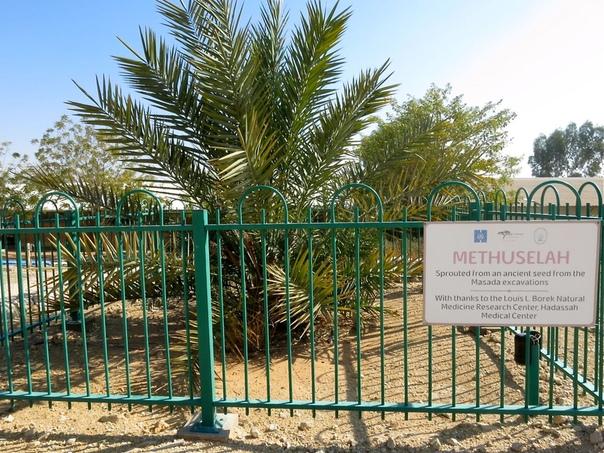 Пальма, выросшая из семечка, возрастом более 2 000 лет Издавна Иудея славилась особым сортом финиковых пальм, которые давали пищу, древесину, лекарственные средства и возможность отдохнуть в