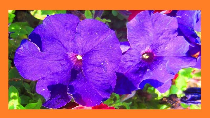 Яркие цветы петунии Этот прекрасный мир🌺 🌸
