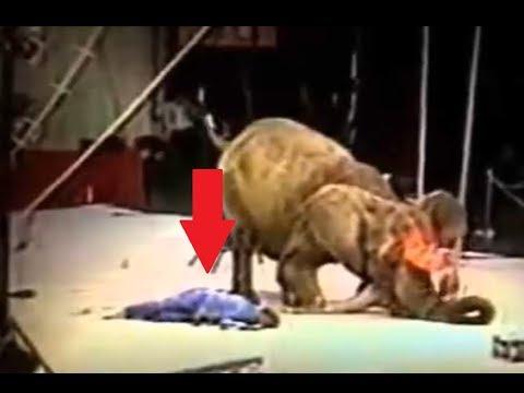 Слониха 20 лет терпела и наказала дрессировщика. circus реакция
