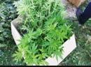 Легализация наркотиков в Беларуси марихуана не вызывает привыкания
