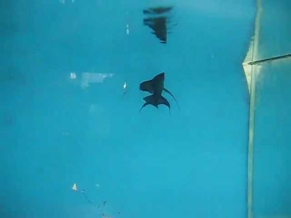 Hang Glider Angelfish
