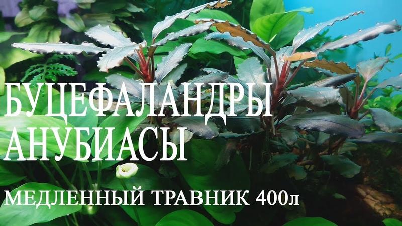 Медленный травник 400л Буцефаландры Анубиасы