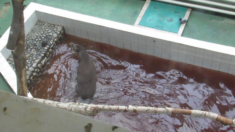 Тапир плавает 02.10.18