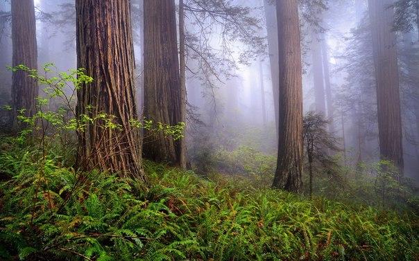 Прекрасный утренний лес, Калифорния