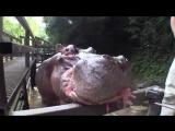 Как кормят бегемотов