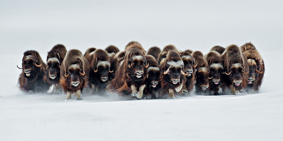 (Любопытно, а как самка называется - овцетёлка или овцекорова?) Фото: Эрик Пьер