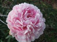 Уход за пионами несложный.  Весной, как только оттает почва, растения поливают раствором марганцовокислого калия (2—3...