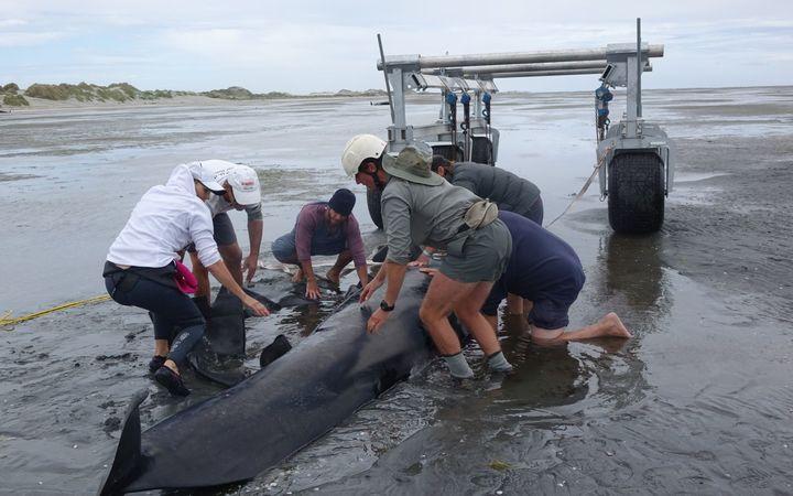 400 дельфинов выбросились