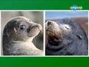 23 От слона до муравья. Моржи и тюлени.