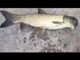 Рыбу с головой голубя поймали в Китае