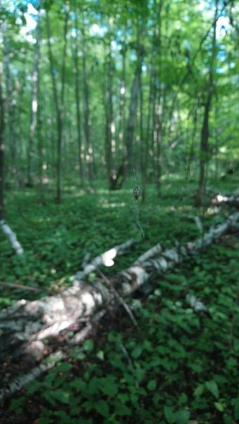 И паучка, который свил гнёздышко прямо между двумя деревьями.