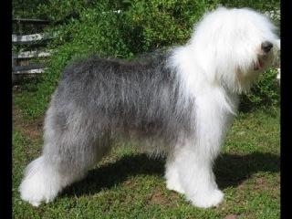 Смешная собака и забавные щенки породы английская овчарка бобтейл