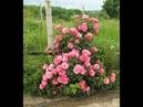 обрезаем розу Леонардо да винчи, питомник роз Полины Козловой, rozarium