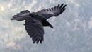 Картинка птицы. Полет, ворон, крылья, клюв, птица.