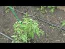 обзор большого томатного парника