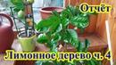 Видео отчёт по лимонному дереву часть 4