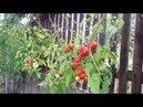 Выращивание помидор в бутылке. Фильм - 2.