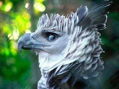 Гарпия - одна из самых красивых птиц.