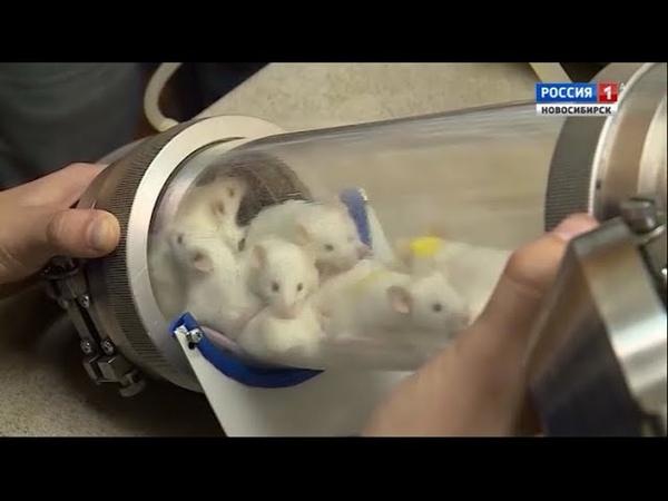 Ученые Академгородка тестируют уникальные методы лечения туберкулеза на мышах