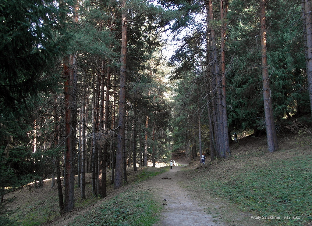 Сосновый лес горы Алматы 2018