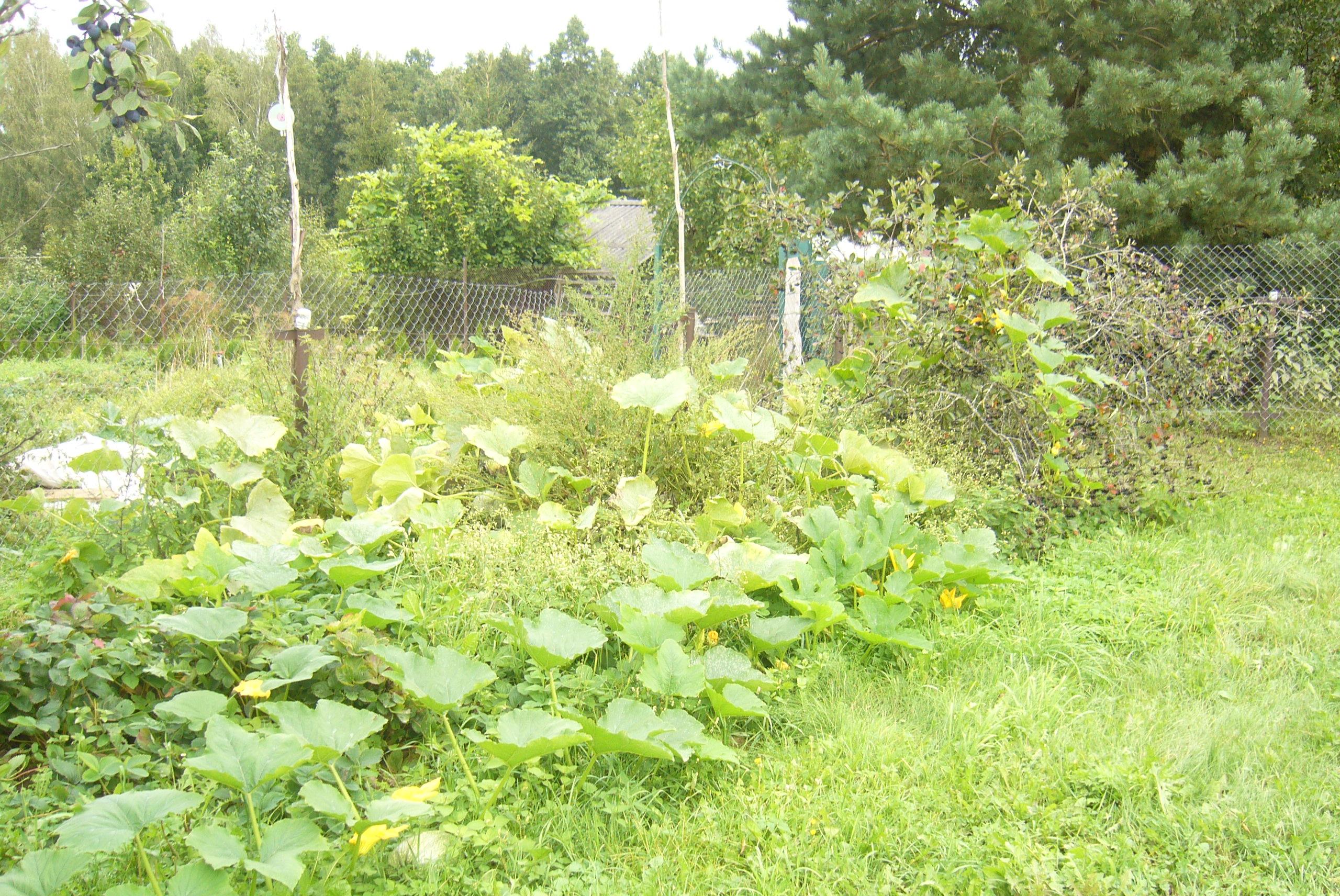 Чудеса белорусской селекции урожай