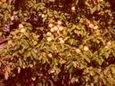 Яблоневый сад город Никольское Деревня Перевоз Ленинградская область 07 09 2007