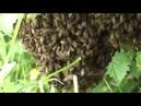 Пчеловодство Роение пчел Пороек вылетел и сел на смородиновый куст