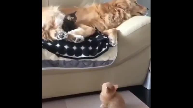 Котята тянутся к самому удобному месту, которое они знают.mp4