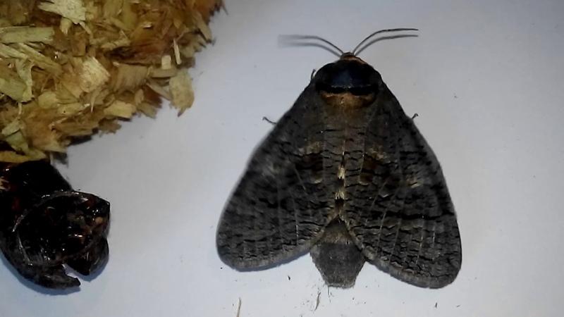 Древоточец пахучий. Выход бабочки из кокона Первые 5 минут. Часть 1
