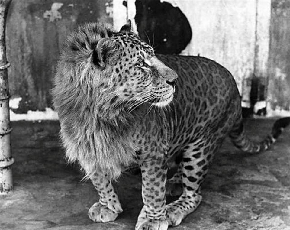 Гибрид льва и леопарда