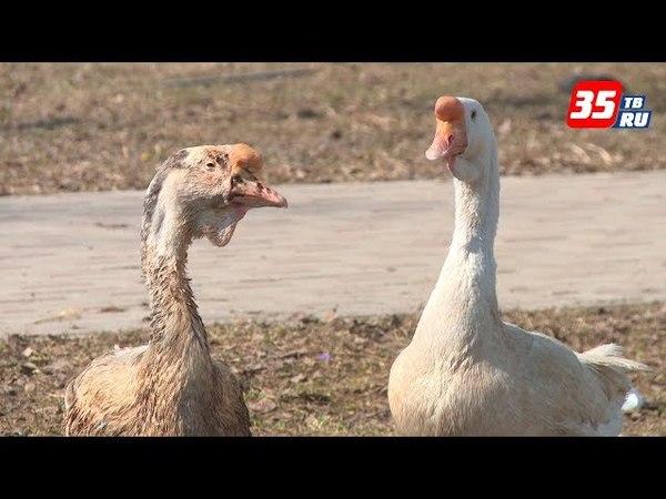 Один серый, другой белый: двух гусей каждый день выгуливает череповчанка по улицам города