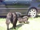 Собаки разняли двух шерстяных пидоров