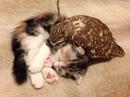 Совенок по имени Фуку и котенок по имени Маримо, живущие в кафе Осако…