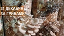 За грибами 31 декабря. Собираем вешенку. Грибы в декабре. Агрофирма Грибы Урала.
