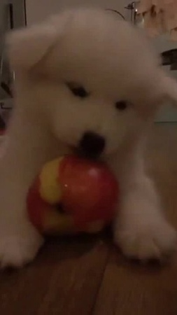 The dog loves apples · coub, коуб