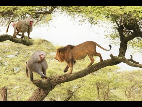 Lion vs hippo vs warthog - Baboons attacking lion ,Leopard save wild dog and monkey, Amazing BAboon