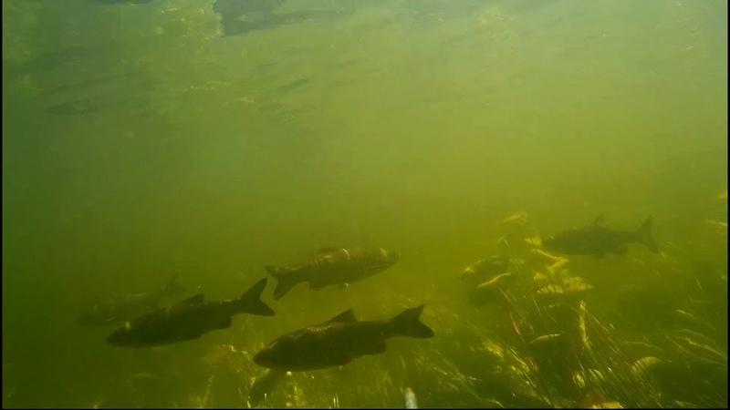Подводная охота, выход стаи голавлей и жереха, лини и окуня