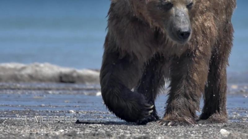 Тизер__Знакомьтесь, бурый медведь Миша, с Камчатки.__Я - медведь!0__Природа для