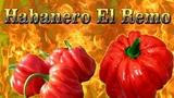 Habanero El Remo. Слабо острый сорт перца