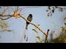 Greater Racket tailed Drongo Райский дронго Dicrurus paradiseus