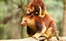 Самка древесного кенгуру со своим детёнышем в заповеднике дикой природы Керрамбин в городе…