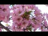 Малолетка - Ветка вишни